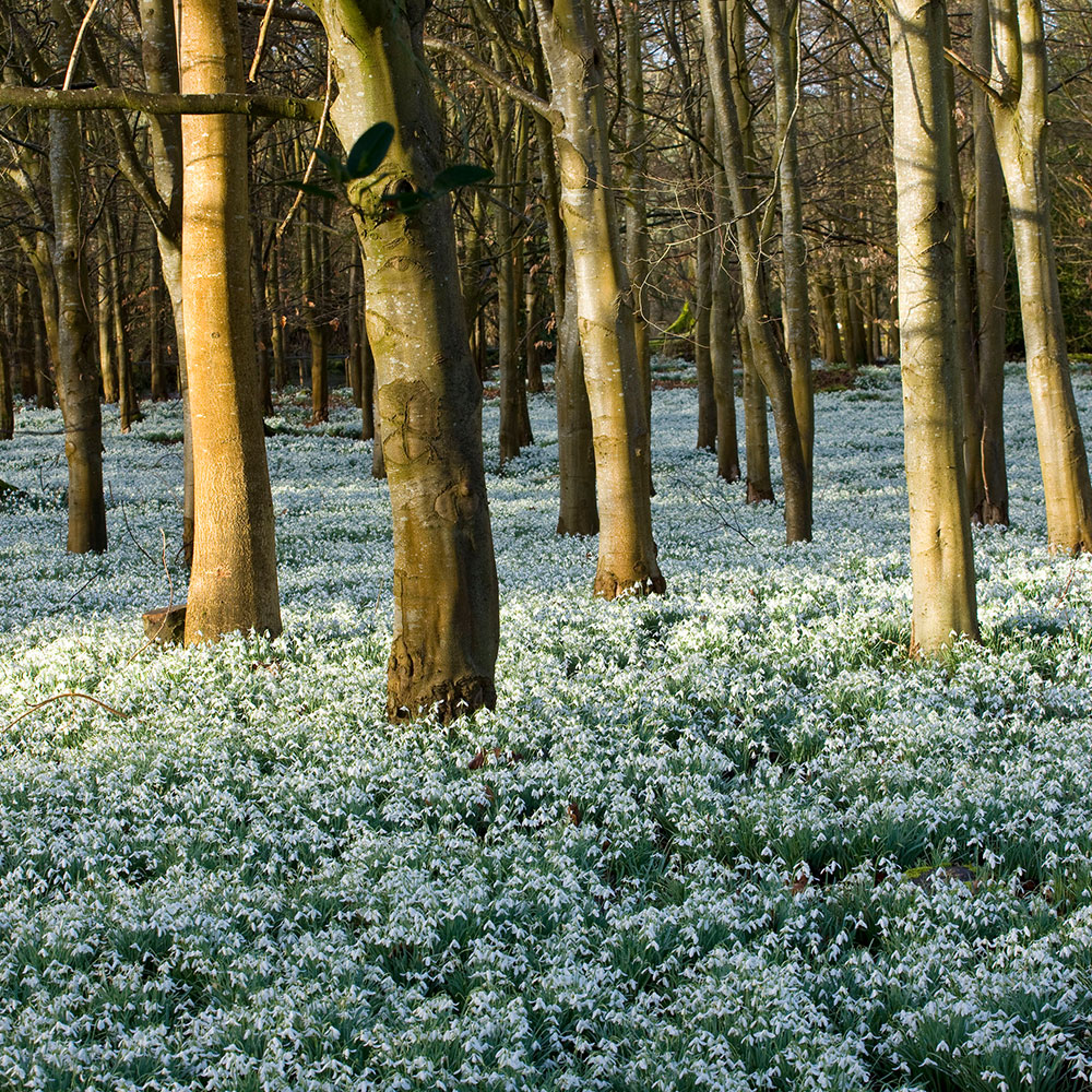 trees-and-snowdrops2